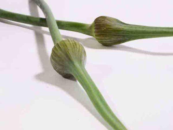 Garlic Tops