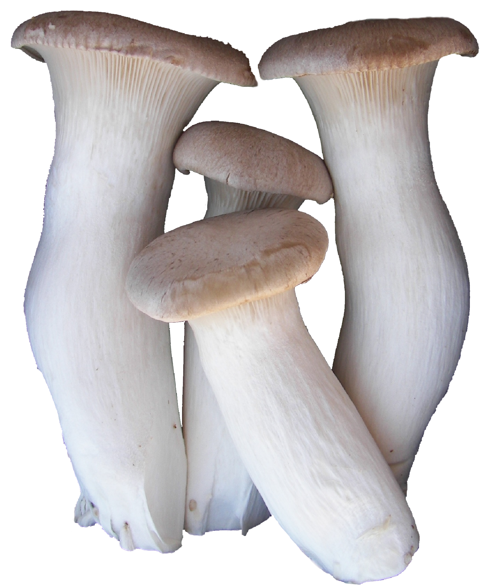 Eryngii/ King Oyster Mushrooms — Specialty Food — Fresh & Wild